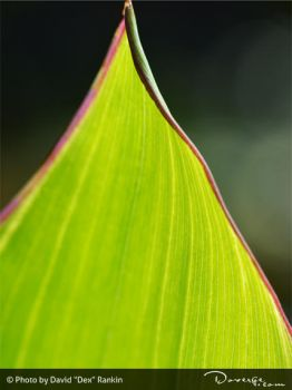 Plant Leaf by Doverge