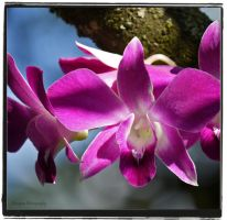 purple orchid-- by burcyna