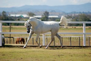 GE Arab white trot head tucked in side view by Chunga-Stock
