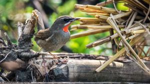 Siberian Rubythroat (Male) by DebasishPhotos