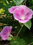 Pink Morning Glory 2 by Calypso1977