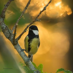 A Great tit in the evening light by roisabborrar