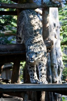 Snow leopard, Amneville zoo by BKcore
