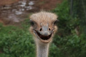 Happy Ostrich by crumpstock