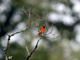 Grey-chinned Minivet by jitspics