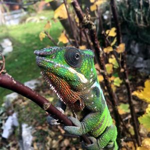 ChameLEON by Fiograph