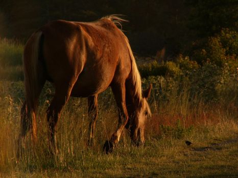Chincoteague Wild Pony by Canis-Angst