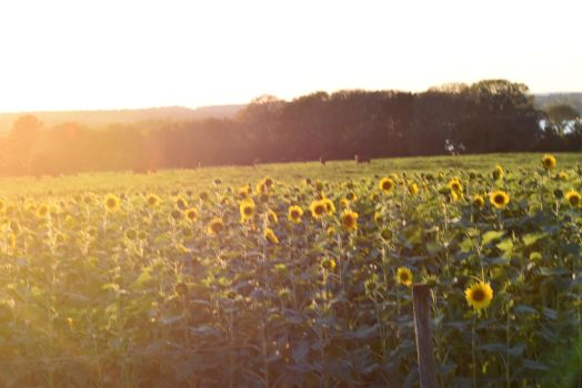 Sunflower Field Bathed In Sunlight by Miss-Tbones