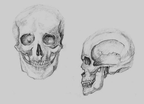 Skull Study by hippie-go-lucky