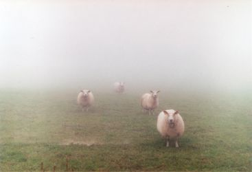 Staring sheeps by simsunas