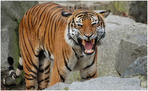 Animals - Indochinese Tiger by NFB-Stock