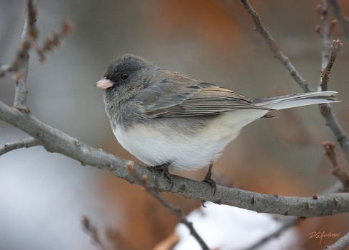 Junco in the cold by DGAnder
