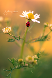 Camomile by MaaykeKlaver