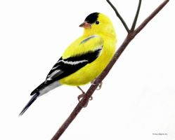 American Goldfinch by toolyman