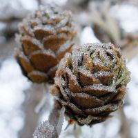 Larch cones by starykocur