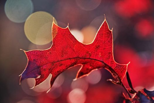 October Oak Leaf 2 by papatheo