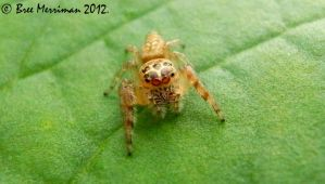 Jumping Spider IV by BreeSpawn