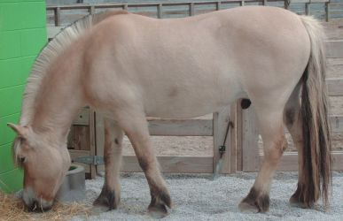 Norwegian Fjord Horse Stock by Lovely-DreamCatcher