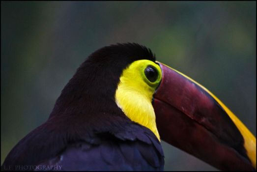 Toucan by LeahCF