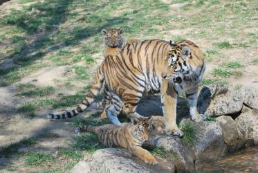 Mother Siberian Tiger and Cubs by NicamShilova