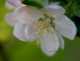 Apple Blossom by Oiseauii