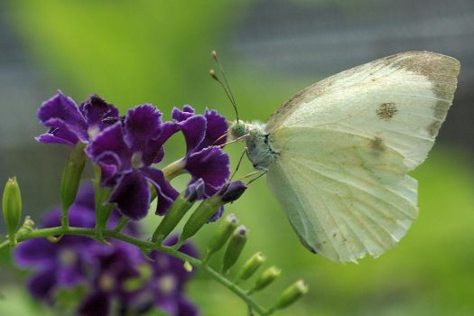 Pieris Brassicae Catoleuca by lucythegreat