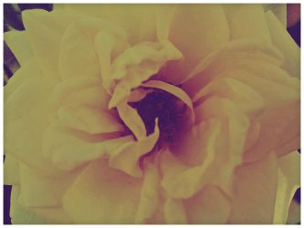 Yellow Rose by VINpixPhotography