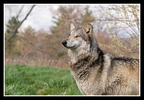 The Strength of the Wolf by tleach0608