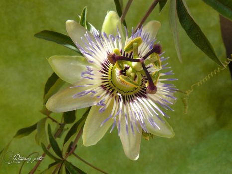 passion flower~2 by andi40