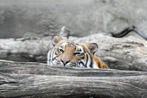 Peek a Boo Tiger by AnimalsRForever