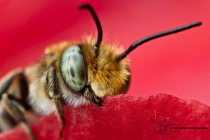 Leaf-cutting Bee - Megachile sp. by ColinHuttonPhoto