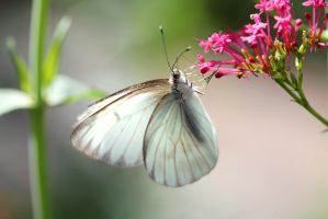 Southern White Butterfly by Monkeystyle3000