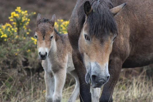 Exmoor Foal and Mother by petra128