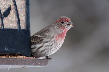 House Finch - 0215 by OpalWildPhotography