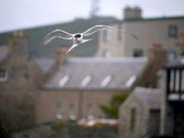 Arctic Tern in Lerwick by celtes
