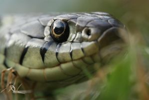 Grass snake in the grass by AngiWallace