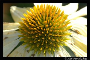 The last days of a Coneflower by pshope