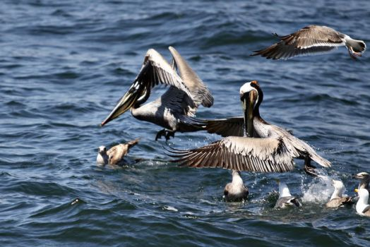 Brown pelicans by paleypeach