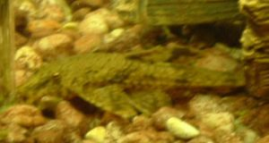 Osiris, lurking Pleco by Gorpo