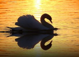 swan romance 13 by MT-Photografien