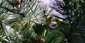 Wild Canaries II by PamplemousseCeil