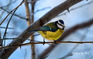 bird on a branch3 by PictureByPali