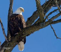 Eagle by hammond by DGAnder