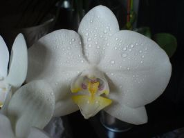 Orchid by Suadela