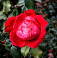 a rose 6 by SweetlySouthern