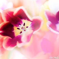 Pink Tulipe by venicequeenf