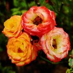 Four Miniature Roses by Earth-Hart