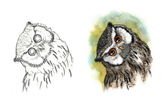 . Northern White-faced Owl . by Maiwenn