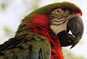 Macaw Parrot by cindy1701d