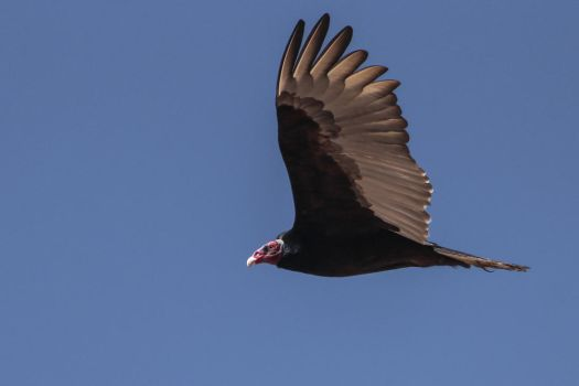 Turkey vulture V by AlejandroCastillo